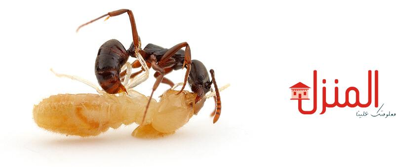 اضرار حشرة النمل