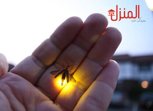 التعرف على الحشرات المضيئة