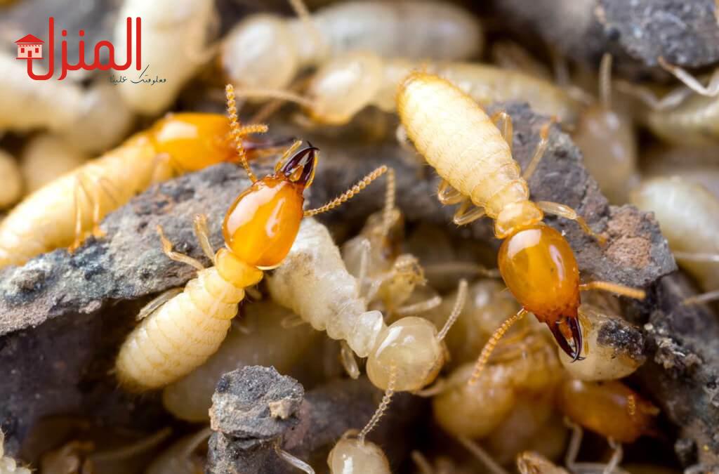 ما هو النمل الابيض