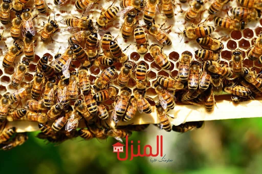 عسل النحل وفوائده