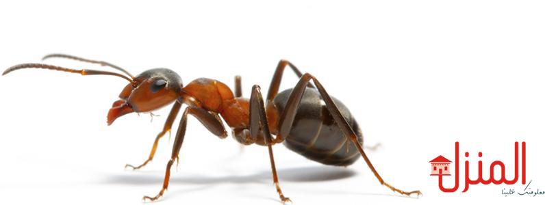 خطوات للقضاء على النمل نهائيا
