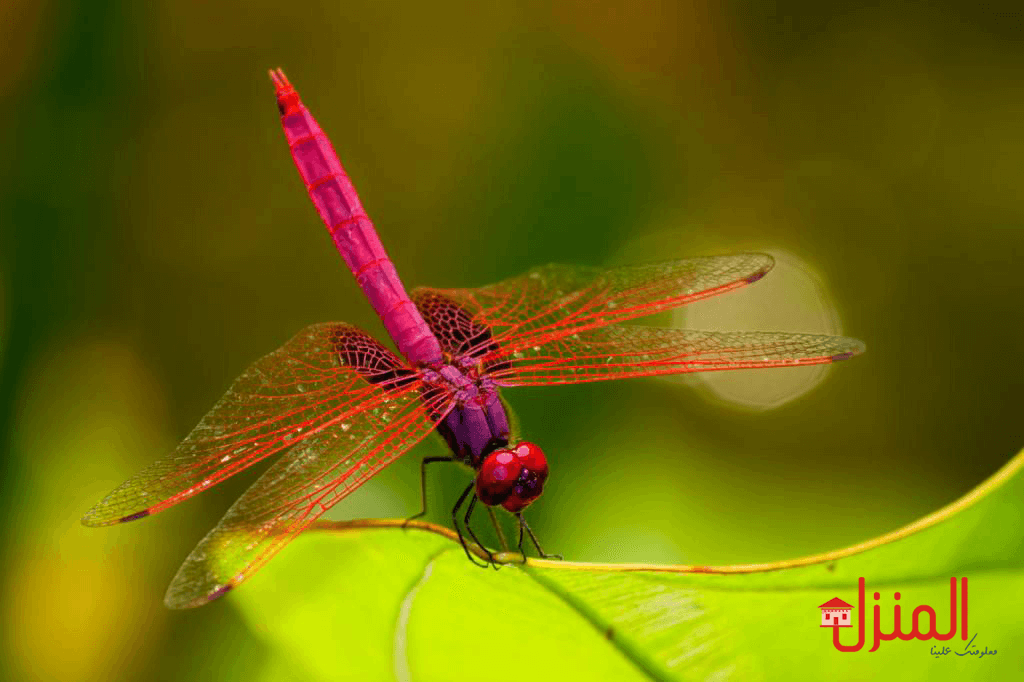 ما هى حشرة اليعسوب