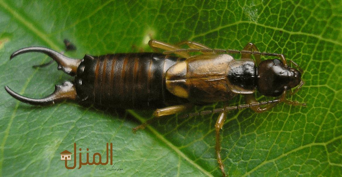 حشرة ابرة العجوز