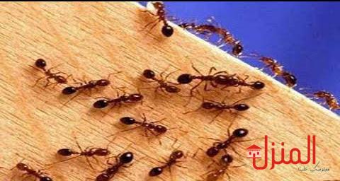 خمس خطوات للقضاء على النمل نهائيا
