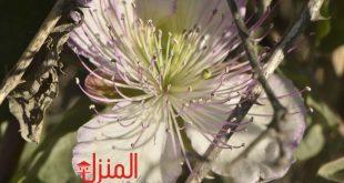 خصائص عشبة البرجس وفوائدها