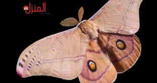 حشرة عث الفراش وكيفية التخلص منها