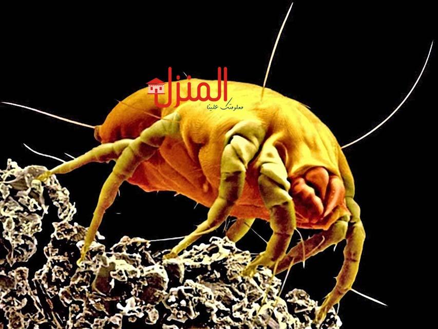 حشرة عث الغبار..أضرارها وكيفية مكافحتها