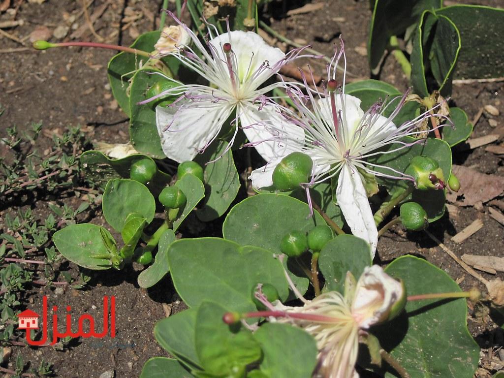 نبات البرجس