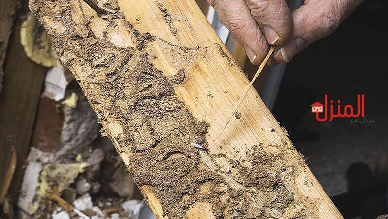 هل سوس الخشب يقرص